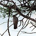 African cuckoo (Cuculus gularis)-2368 - Flickr - Ragnhild & Neil Crawford.jpg
