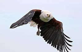 African fish eagle, Haliaeetus vocifer, at Chobe National Park, Botswana (32832147783).jpg