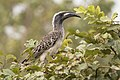 African grey hornbill (Tockus nasutus nasutus) male.jpg