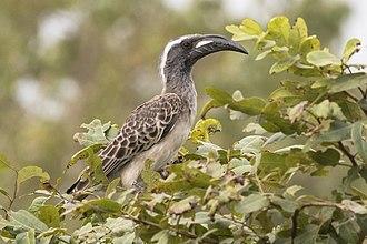 African grey hornbill - Male L. n. nasutus Senegal