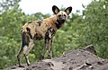 African painted dog, or African wild dog, Lycaon pictus at Savuti, Chobe National Park, Botswana. (32318497280).jpg
