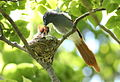 African paradise flycatchers, Terpsiphone viridis, nesting at at Walter Sisulu National Botanical Garden, December 1, 2014 (15755672880).jpg