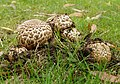 Agaricus bohusii (32888012660).jpg