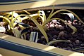 Agave americana Variegata 2zz.jpg