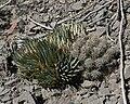 Agave utahensis var nevadensis 5.jpg