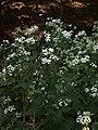 Ageratina altissima, 2015-09-04, Mount Lebanon, 03.jpg