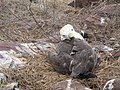 Albatross birds - Espanola - Hood - Galapagos Islands - Ecuador (4871127597).jpg