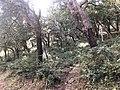 Alberi di sughero tra Geraci Siculo e Castelbuono 02.jpg