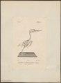 Alcedo ispida - skelet - 1842-1848 - Print - Iconographia Zoologica - Special Collections University of Amsterdam - UBA01 IZ16800195.tif