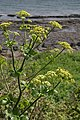 Alexanders (Smyrnium odoratum) - geograph.org.uk - 1143347.jpg