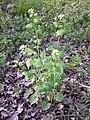 Alliaria petiolata sl11.jpg