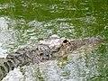 Alligator mississippiensis - Oasis Park - 15.jpg