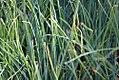 Allium ampeloprasum 0zz.jpg