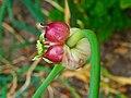 Allium sativum 003.JPG