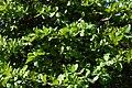 Almendro (Terminalia catappa) (14787606174).jpg