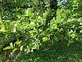 Alnus serrulata arboretum Breuil 1.jpg
