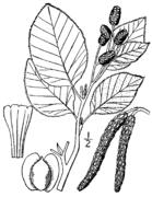 Alnus viridis sinuata drawing.png