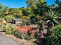 Aloe spp in Arid Zone garden Brisbane Botanic Gardens Mt Coot-tha L1080334.jpg