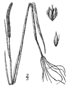 Alopecurus aequalis aequalis drawing.png