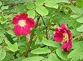 Alpine Rose (Rosa pendulina) (30069471547).jpg