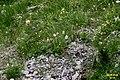 Alpine flora (Gru) (31124158544).jpg