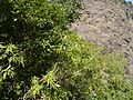 Alstonia venenata (8294482522).jpg