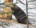 American Beaver, tree cutting.jpg