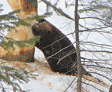 American Beaver, tree cutting.jpg