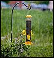 American Goldfinch at Feeder (11888568193).jpg