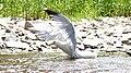 American Herring Gull (Larus smithsonianus) - Mississauga, Ontario.jpg