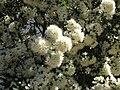 Amomyrtus luma.jpg
