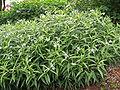 Amsonia elliptica1.jpg