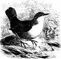 An illustrated manual of British birds (1899) (20717991995).jpg