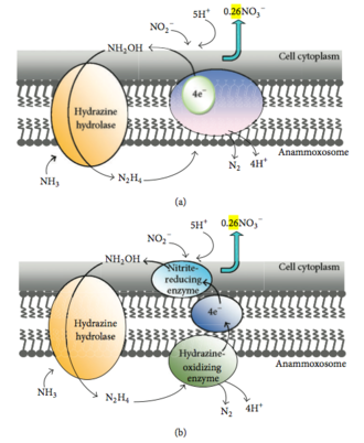 Anammox - Figure 3. Possible biochemical pathway and cellular localization of the enzyme systems involved in anammox reaction.