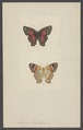 Anartia - Print - Iconographia Zoologica - Special Collections University of Amsterdam - UBAINV0274 003 01 0054.tif