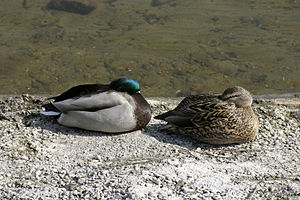 Sleeping ducks