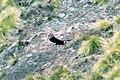 Andean Condor (Vultur gryphus) (8077574809).jpg