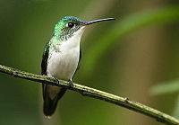 Andean Emerald (Amazilia franciae).jpg