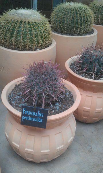 Ferocactus à Terra Botanica