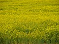 Angiosperms in iran گلها و گیاهان گلدار ایرانی 22.jpg