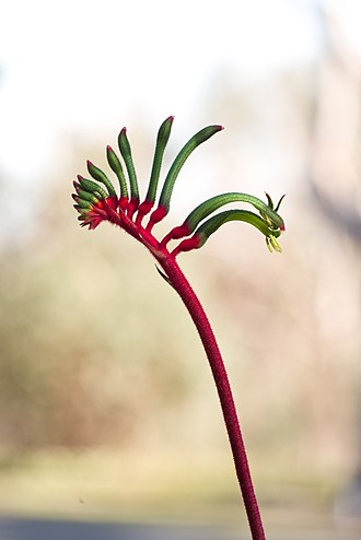 Western Australia - The red and green kangaroo paw is the floral emblem of Western Australia
