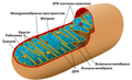 Animal mitochondrion diagram bg.png