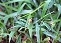 Anisoptera at Rajbiraj, Saptari, Nepal (1).jpg