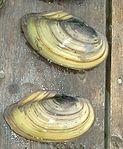 Anodonta cygnea1.jpg
