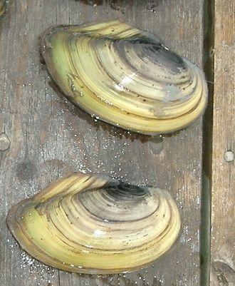 Freshwater bivalve - Image: Anodonta cygnea 1