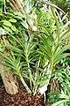 Ansellia africana-Jardin botanique de Berlin (2).jpg