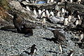 Antarctic Fur Seals and Macaroni Penguins (5892430479).jpg