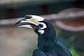 Anthracoceros albirostris -Kuala Lumpur Bird Park -upper body-8a.jpg