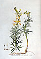 Antirrhinum linaria — Flora Batava — Volume v3.jpg