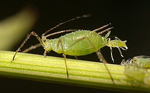 Asexual reproduction - Aphid giving birth to live young from an unfertilized egg